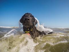 11/52 Nemo (- Una -) Tags: 52weeksfordogs nemo curly curlycoatedretriever ccr retriever curlydog dog animal blackdog blackcurlycoatedretriever portaransas texas texascoast ocean beach
