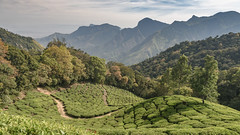 Top Station (luke.me.up) Tags: munnar kerala india nikon d810 tea plantation field fields green