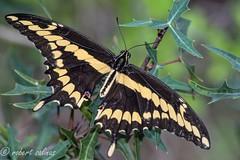 giant swallowtail (explored 3/2/2017) (robert salinas) Tags: