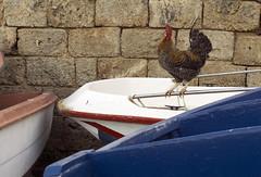 Troppi galli a cantar... (michele.tedesco) Tags: gallo polignanoamare polignano puglia apulia barche boats sea seaside country style life marine mariner fisherman fishing
