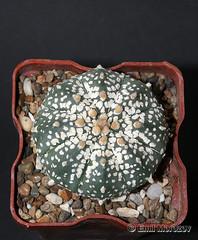 Astrophytum Super Kabuto ornament (emilmorozoff) Tags: astrophytum superkabuto