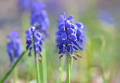 Field of Grapes (MTSOfan) Tags: plant macro flower grapehyacinth fragile delicate