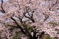 Sakura 2 (kazuo0801) Tags: sakura shrine ibaraki beautiful flowers japan mito