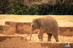 Erlebniszoo Hannver 15.04.2017 065 (Fruehlingsstern) Tags: eisbären polarbear sprinter melana elefanten seelöwen weiskopfseeadler yukonbay erlebniszoohannover hannover canoneos750 tamron16300 zoo