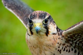 Female Lanner falcon in colour.