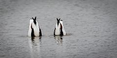 Bottoms up ! (DP the snapper) Tags: diving venuspool birds shelduck