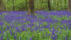 Wild Bluebells (fstop186) Tags: bluebells wild woods panoramic woodland hyacinthoides magical whimsical enchanting magic landscape flowers plants nature