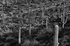 A Hillside of Saguaro and Prickly Pear Cactus (Black & White, Saguaro National Park)