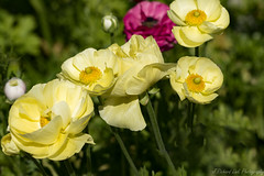 Afternoon Yellow (J_Richard_Link) Tags: plant flower thebulbguy yellow nature macroflower ranunculus plants photograph garden beautiful