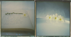 Adrift on the deep blue sea of memory (l'imagerie poétique) Tags: limageriepoétique poeticimagery diptych whiteprimroses 600colorfilm analogphotography instantphotography polavoid stilllife expiredfilm