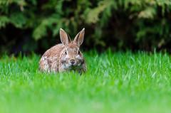 Lapin à queue blanche / Eastern Cottontail (LeDriver*) Tags: lapinàqueueblanche sylvilagusfloridanus lapin rabbit easterncottontail faune wildlife