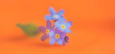Orange and Blue (paulapics2) Tags: macromonday orangeandblue colours flowers forgetmenots nature plant flora fleur blümen macro depthoffield canoneos5dmarkiii sigma105mm
