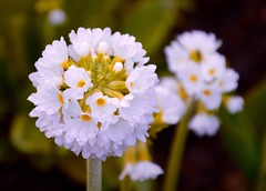 Drumstick Primula. (rustyruth1959) Tags: nikon nikond3200 macro garden whiteflowers dof stem white whiteflower outdoor nature flowercluster plant bloom