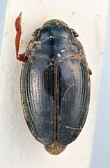 Gyrinus schoenfelderi Ochs, 1954 (Biological Museum, Lund University: Entomology) Tags: coleoptera gyrinidae gyrinus schoenfelderi mzlutype05575 taxonomy:binomial=gyrinusschoenfelderi