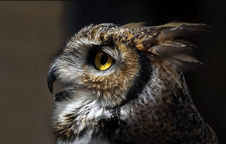 Great Horned Owl - Pose
