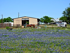 Texas Horse Ranch. HFF (The Old Texan) Tags: ranch horses fence bluebonnets p900 nikon texas