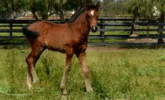 Colt In The Pasture (hpromise-Jean Kohut') Tags: horses foal painterly