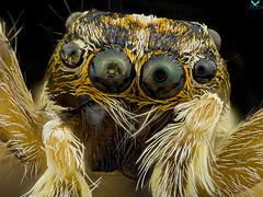 """The Eyes"" (aspolatt) Tags: sony nikon mitutoyo zerene bugslabber macro micro microphotography macrophotography macromonday makro closeup detail insect bug animal nature beautiful focusstacking a7ii turkey azerbaijan"