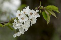 Blütenmeer im Frühling (Jo&Ma) Tags: frühling blüten blühen blütenmeer blumen krischblüten kirschen