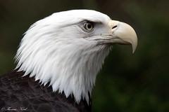 Bald Eagle (Tom Nord) Tags: bird raptor baldeagle americanbaldeagle eagle safaripark sandiegosafaripark
