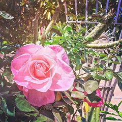 Homegrown roses 🌹, pretty big (my aunt's garden) #homegrown #rose #garden #spring #blooms (ThuGiang Le) Tags: homegrown rose garden spring blooms