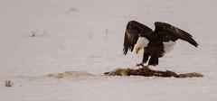 IMG_9276 Bald Eagle and carcass (cmsheehyjr) Tags: cmsheehy colemansheehy nature wildlife bird eagle baldeagle raptor antelopeflats jacksonhole grandtetonnationalpark wyoming haliaeetusleucocephalus