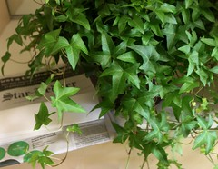 a plant and newspaper [EXPLORED] (Baking is my Zen) Tags: plant ivyplant newspaper starledger carmenortiz canonrebelt1i greenery explored