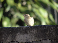 DSC00008 Pardal (familiapratta) Tags: sony dschx100v hx100v iso100 natureza pássaro pássaros aves nature bird birds novaodessa novaodessasp brasil