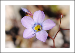 Searles Valley Wildflowers (AussieinUSA) Tags: showygilia california 2017wildflowers 2017 wildflowers trona hwy178 searlesvalley valleywells inyocounty giliacana giliacanassptriceps
