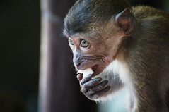 beguiling (Bl. Mtns. girl) Tags: young monkey batucaves kualalumpur malaysia longtailedmacaque