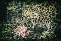 Diner Time (KyKy Fotografie) Tags: panther panter leopard amour animal wildlife zoo nature pic photo photography canon color eyes food predator hunter cat