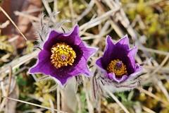 Wildblumen (Hugo von Schreck) Tags: hugovonschreck gewöhnlichekuhschellen pulsatillavulgaris flower blume blüte wildblume wildflower macro makro canoneos5dsr tamron28300mmf3563divcpzda010 onlythebestofnature