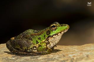 Ra-Verde, Perez' s Frog (Rana perezi, Pelophylax perezi )