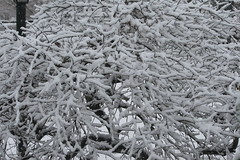 Lines in Black and White (eyriel) Tags: winter snow storm nature bush tree japanesemaple