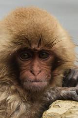 Nagano - Jigokudani - 19 (coopertje) Tags: japan nagano snowmonkey monkey jigokudanimonkeypark jigokudanijaenkoen sneeuw snow sneeuwmakaak macaque japanesemacaque cold onsen hottub hotspring water