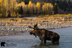 MO355 (Sam Parks Photography) Tags: alcesalcesshirasi gtnp gye grandtetonnationalpark greateryellowstoneecosystem jacksonhole nps northamerica parkservice river rockies rockymountains shirasmoose tetonrange usa unitedstatesofamerica wyoming animal antlers autumn biggame breedingseason cervic cervidae cervine cottonwoodtrees creek cross crossing fall fallcolor foliage ford fording habitat herbivore herbivorous hoof hoofedmammal hooved hooves lake large male mammal matingseason meadow nature pond rut rutting stream trophybull ungulate valley wade wading water wild wildlife woods