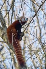 je monterai bien plus haut (rondoudou87) Tags: pentax k1 parc zoo reynou pandaroux panda arbre tree nature natur wildlife wild cute mignon smcpda300mmf40edifsdm