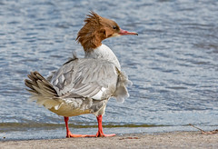 DSC7821  Goosander.. (jefflack Wildlife&Nature) Tags: goosander goosanders birds avian animal wildlife wildbirds waterbirds waterways riverbirds rivers ducks countryside coastalbirds nature