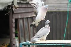 21 April 2017 (30) (AJ Yakstrangler) Tags: yakstrangler pigeon pigeons