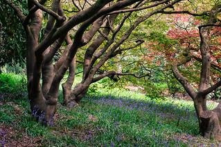 Bluebells under Acer trees