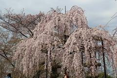 IMG_6450 Kiyomizudera (drayy) Tags: kyoto japan gion temple kiyomizudera maruyamakoen park sakura cherryblossoms 日本 京都 清水寺 円山公園 花見 桜