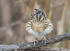 Fluffy LeConte's Sparrow (Ruthie Kansas) Tags: