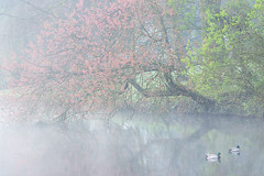 Budding Blossoms on a misty morning - Spring 2017 (Wilma v H - thanks so much for lovely feedback! Ru) Tags: blossoms prunusblossoms trees mist misty fog foggy springscenics spring springflowers spring2017 essenhofcemetery begraafplaatsdeessenhof ponds lakes bloesems ducks outdoors nature landscape waterscapes dordrecht nederland netherlands luminositymasks tkactionsv5panel