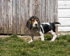 IMG_8228_edit (BFDfoster_dad) Tags: basset hound puppy
