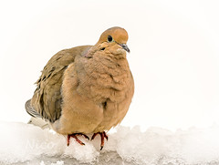 Mourning dove  DSC_0159 Tourterelle (Nicole Nicky (mostly off, temporarily)) Tags: dove mourningdove tourterelle bird oiseau nikon snow neige spring printemps canada quebec ice glace