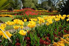 Floral Patterns (MattCCttaM) Tags: waddesdon pattern tulip flowers border flower sun formalgarden yellow attribute red