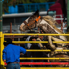 Wild-thing_DSC5490 (Mel Gray) Tags: dungogrodeo dungogrodeo2017 dungog newcastle hunterregion annualevent eastersaturday melgrayphotography cowboys cowgirls equestrianevents horse