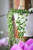 Erbsenpflanze (blumenbiene) Tags: senecio rowleyanus erbsenpflanze erbse am band perlenschnur zimmerpflanze indoor plant succulent sukkulente stringofpearls stringofbeads hängepflanze
