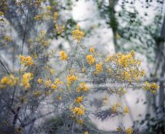 Botanischer Garten (nikolaijan) Tags: plaubelmakina 67 plaubel kodak portra800 120 berlin botanical garden film