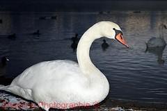 Kiesteich (shaolino) Tags: schwann swan cygnus olor wasser kiesteich berlin spandau nikon d3200 weis vogel wasservogel waterbird bird tag day sea see natur nature
